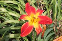 Hemerocallis  'All American Chief' - denivka
