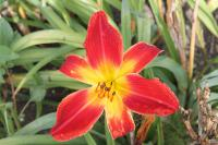(Hemerocallis hybrida) Denivka 'All American Chief'