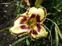 denivka Hemerocallis  'Kentucky Shape Shifter'