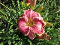 denivka Hemerocallis  'The Big Picture'