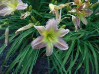 (Hemerocallis hybrida) Denivka Prague Spring