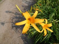 denivka Hemerocallis hybrida  'Doubloon'