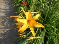 (Hemerocallis hybrida) Denivka Doubloon