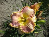 denivka Hemerocallis hybrida  'Spacecoast Southern Belle'
