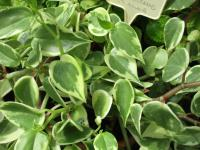 (Peperomia scandens) Pepřinec