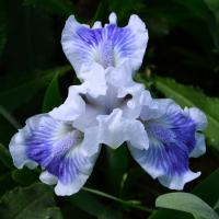 Iris  'Big Blue Eyes' - kosatec