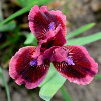 (Iris) Kosatec Cats Eye