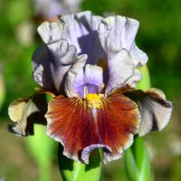 (Iris) Kosatec Man's Best Friend