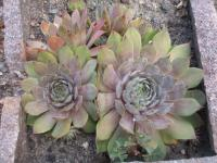 Sempervivum hybridum 'Bottle of Griotte'  netřesk rostlina