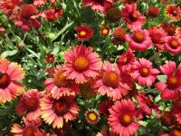(Gaillardia aristata) Kokarda osinatá 'Arizona Red Shades'