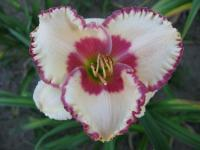 Hemerocallis  'Ageless Beauty' - denivka