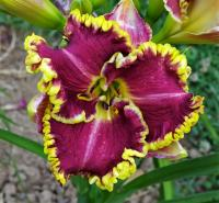 Hemerocallis  'Alex a Kathryn' - denivka