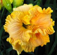 (Hemerocallis hybrida) Denivka Bonnie Holley