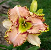 (Hemerocallis hybrida) Denivka Ellis Powell