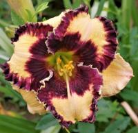 denivka Hemerocallis  'Special Candy'