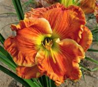 (Hemerocallis hybrida) Denivka Texas Big Bend