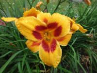(Hemerocallis hybrida) Denivka Black Eyed Susan