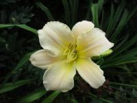 (Hemerocallis hybrida) Denivka Artic Snow
