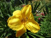 Hemerocallis  'Glittering Treasure' - denivka