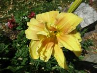 (Hemerocallis hybrida) Denivka Double Awe
