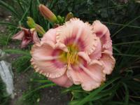 (Hemerocallis hybrida) Denivka Mystical Rainbow