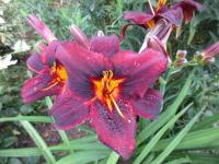 Denivka Sweet Hot Chocolate (Hemerocallis hybrida)