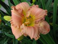 Hemerocallis  'American Original' - denivka