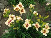 Hemerocallis 'Cranberry Coulis'  denivka rostlina