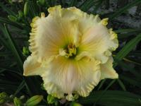 Denivka Great White (Hemerocallis hybrida)