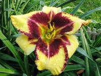 Hemerocallis  'Jamaican Me Crazy' - denivka