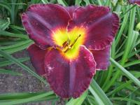 (Hemerocallis hybrida) Denivka Jamaican Midnight
