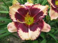 (Hemerocallis hybrida) Denivka Jammin with Jane