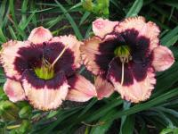 (Hemerocallis hybrida) Denivka Jane Trimmer