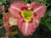 Denivka Only Believe (Hemerocallis hybrida)