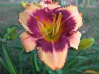 Denivka Pirate's Patch (Hemerocallis hybrida)
