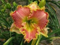 Denivka Princess Diana (Hemerocallis hybrida)