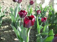 (Tulipa x hybrida) Tulipán Queen of Night