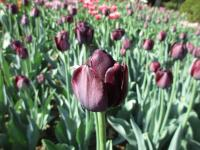 Tulipán Black Diamond
