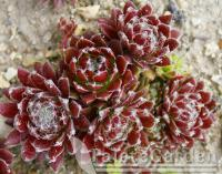 (Sempervivum Red Wings) Sempervivum Red Wings