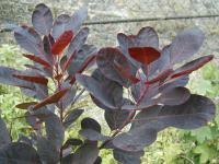 Cotinus coggygria            'Royal Purple'  ruj vlasatá listy