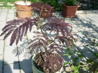 (Albizia julibrissin Summer Chocolate) Kapinice