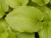 Hosta       'Royal Standard'  bohyška listy