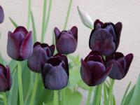 Tulipán 'Queen of Night' (Tulipa)