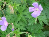 Geranium  'Johnson's Blue' - kakost
