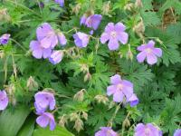 (Geranium) Kakost Johnsons Blue
