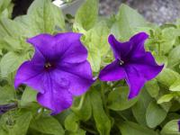 (Petunia) Surfinie Surfinia Blue