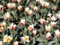 (Tulipa) Tulipán 'Authority'