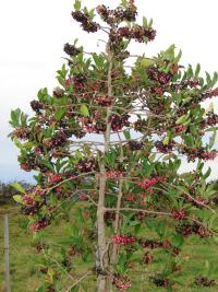 Shoebutton - fruiting habit (Ardisia elliptica)
