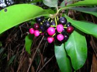 Shoebutton - fruits (Ardisia elliptica)