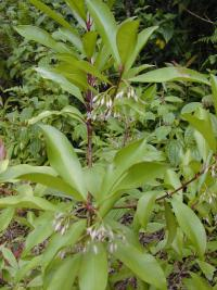 Shoebutton - leaves and flowers (Ardisia elliptica)